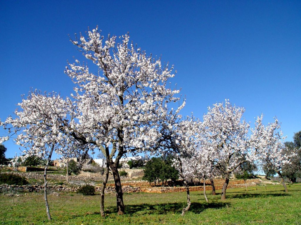 Almond and orange trees in bloom in Mallorca and Ibiza